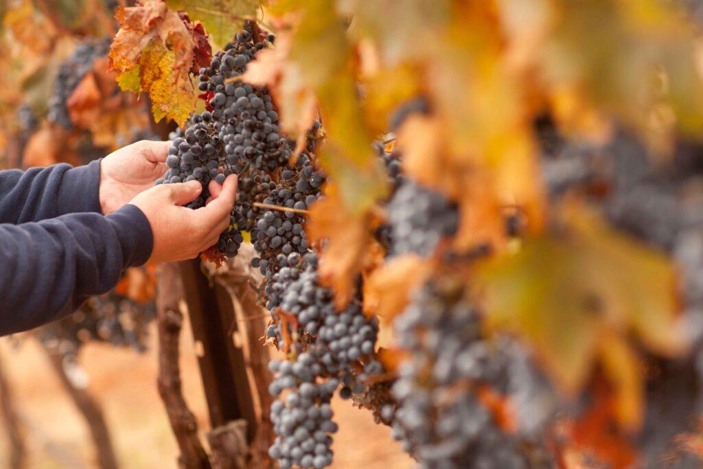 Burgundy in Balthazar